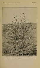 A cotton plant showing the bolls injured by the conchuela