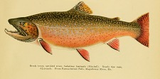 Brook trout; speckled trout, Salvelinus fontinalis.