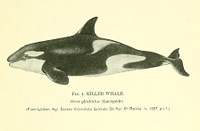 Killer Whale (Orca gladiator).