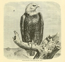 White-Headed Sea Eagle.