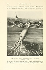 Giant squid of the Newfoundland Banks. From a painting by Herbert B. Judy.