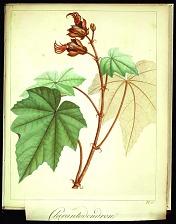 Chirantodendron