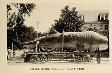 Whale shark (Rhincodon typus) Florida.