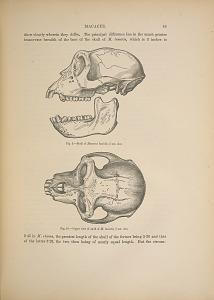 MACACUS. Fig. 9. - Skull of Macacus lasiotis, 3/4 nat. size. Fig. 10. - Upper view of skull of M. lasiotis, 3/4 nat. size.