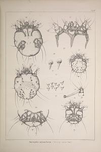 Sarcoptes squamiferus. (Sarcopt. canis Gerl.)