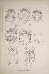 Sarcoptes caprae Fig 72-79. Homopus elephantis Fig 80. 81.