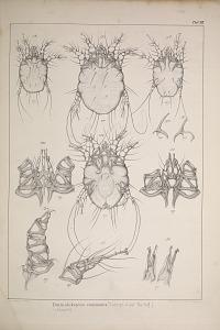 Dematokoptes communis (Sarcopt. equi Hering.)