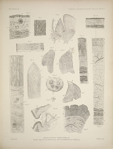 Microscopic structure of skin, teeth, stomach, & c. of Platanista & Orcella.