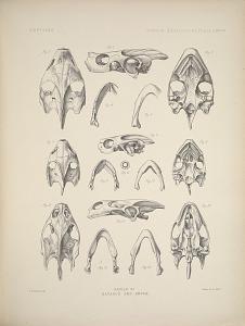 Skulls of Batagur and Emyda