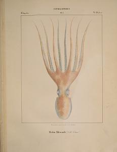 Octopodes. Eledon Aldrovandi.