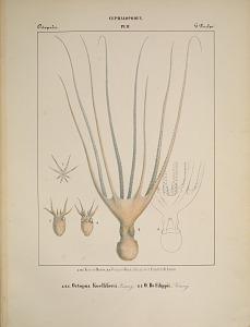Octopodes. A, B, C. Octopus KoelliKerii.