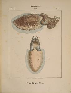 Decapodes. Sepia officinalis.