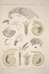 Drei verschiedene Echinospirae disciformes.