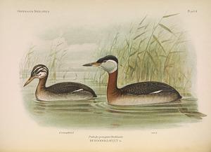 Male in jeugdkleed. Oud male. Podiceps grisegena (Boddaert)