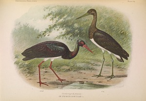 Ciconia nigra (Linnaeus)