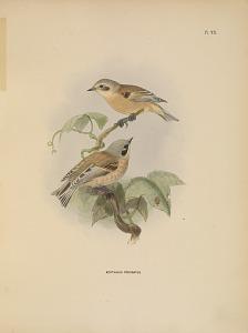 Aegithalus Coronatus.