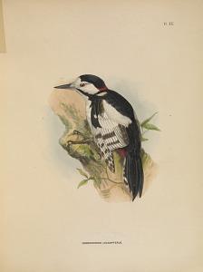 Dendrocopus Leucopterus.