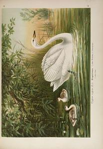 Cygnus cygnus (L.). Singschwan ...