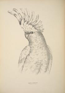 Cacatua Leadbeateri, Leadbeater's Cockatoo