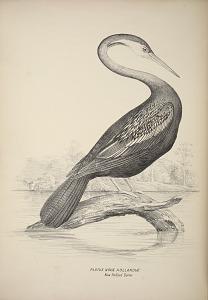 Plotus Novae Hollandiae, New Holland Darter