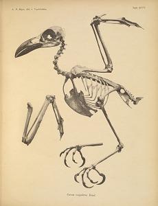 Corvus scapulatus Daud.