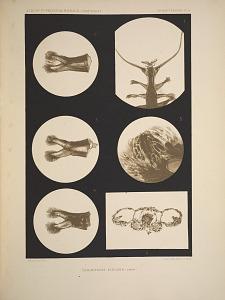 Tomoptérides. Tomopteris elegans (Chun)