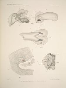 Tomoptérides