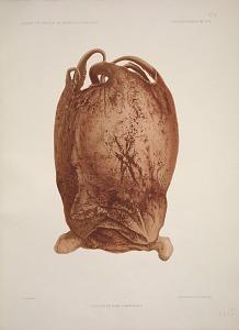Cirroteuthis Grimaldii