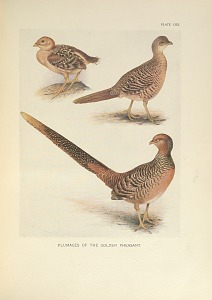 Plumages of the Golden Pheasant.