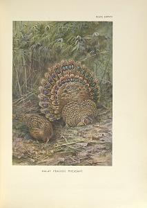 Malay Peacock Pheasant.