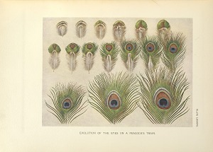 Evolution of the eyes of a peacock's train.