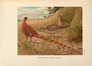 Soemmerring's Copper Pheasant.
