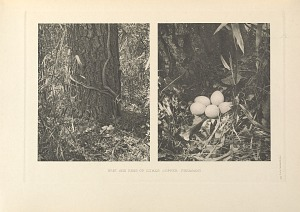 Nest and eggs of Ijima's Copper Pheasant