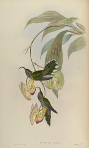 Eutoxeres Aquila.