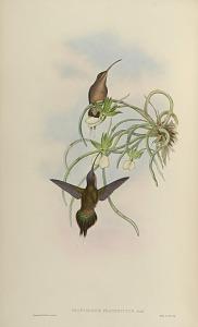 Phaethornis Fraterculus, Gould.