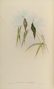 Phaethornis Intermedius.
