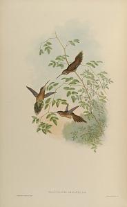 Phaethornis Adolphi, Salle