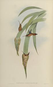 Phaethornis Griseogularis: Gould