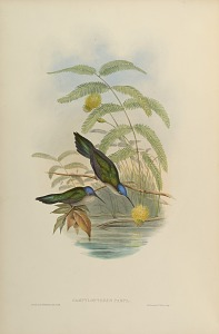 Campylopterus Pampa.