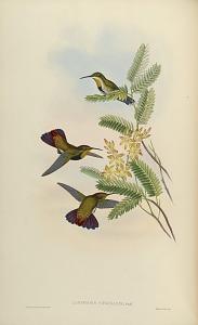 Lampornis Virginalis, Gould