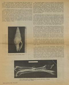 Ophiodermella inermis (Hinds, 1843). Three radular teeth of Ophiodermella inermis ...