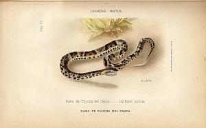 7. La Rabo de chucha del Cauca (Lachesis mutus)