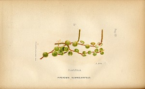 13. Cuartillitos (Piperomia nummulari)
