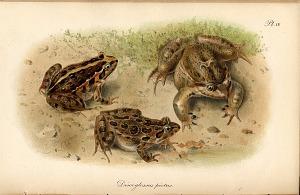 Pl. IV. Discoglossus pictus