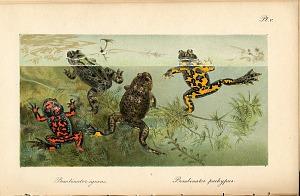 Pl. V. Bombinator igneus. Bombinator pachypus