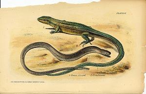 1. Green Lizard 2. Blindworm
