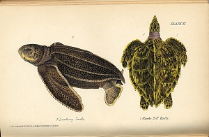 2. Leathery Turtle 1. Hawks Bill Turtle