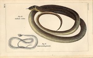 Fig. 10. Gelbliche Natter Fig. 11 Skelet der Ringelnatter