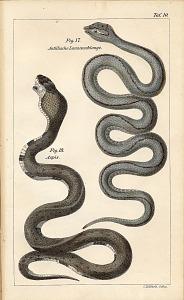 Fig. 17. Antillische Lanzenschlange Fig. 18. Aspis