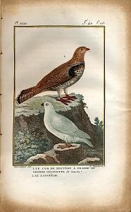 1. Le Coq de Bruyère à Fraise ou Grosse Gélinotte du Canada 2. Le Lagopède.